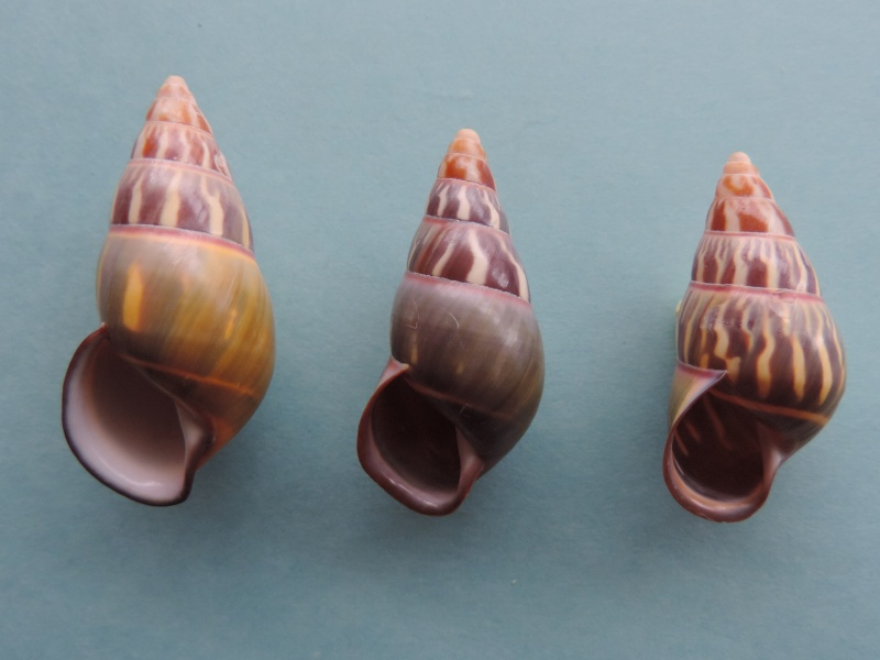 Amphidromus quadrasi (Hidalgo, 1887) Dscn1642