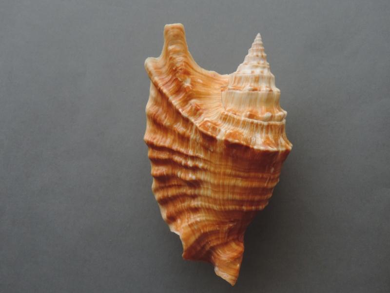 Strombidae Tricornis oldi - (Emerson, 1965)  Dscn1681
