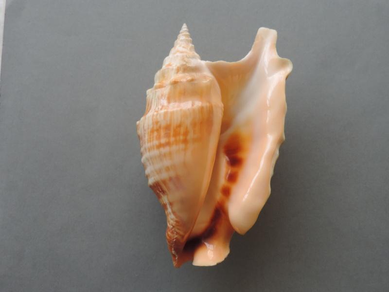 Strombidae Tricornis oldi - (Emerson, 1965)  Dscn1682