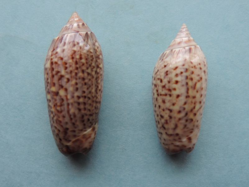 Americoliva violacea (Marrat, 1867) Dscn2010