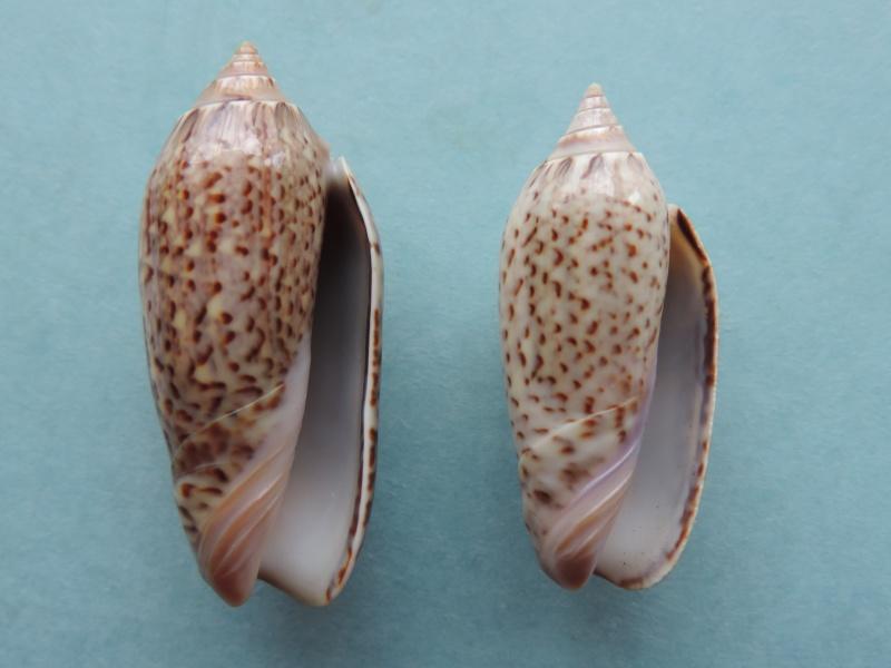 Americoliva violacea (Marrat, 1867) Dscn2011