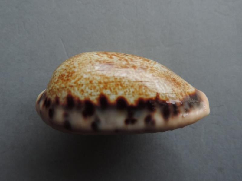 Erronea caurica quinquefasciata - (Röding, 1798)  Dscn2127