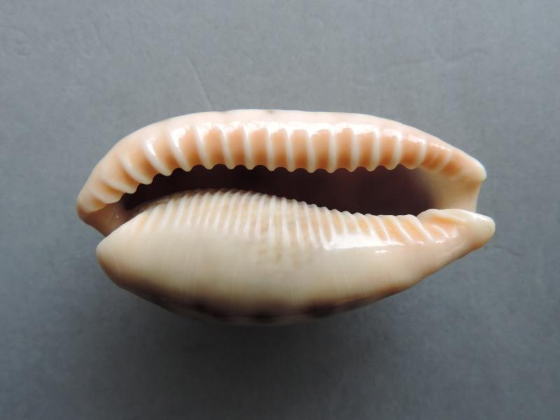 Erronea caurica quinquefasciata - (Röding, 1798)  Dscn2128