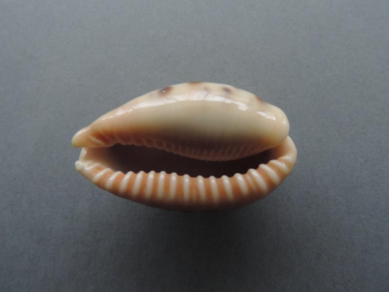 Erronea caurica nabeqensis - Heiman & Mienis, 2000 voir Erronea caurica quinquefasciata (Röding, 1798) Dscn2136