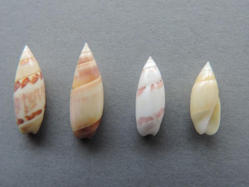 Olivella nivea - (Gmelin, 1791) Dscn2138