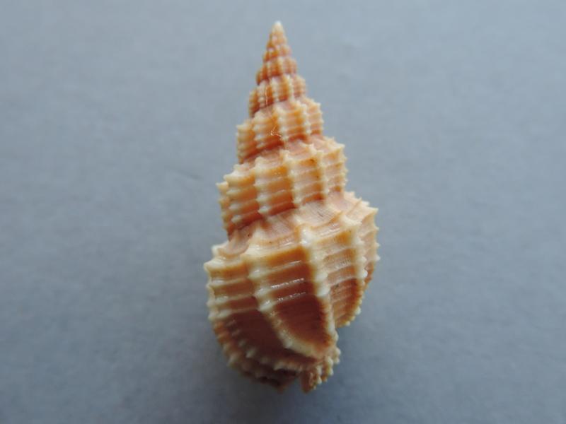 Phos senticosus - (Linnaeus, 1758) Dscn2154