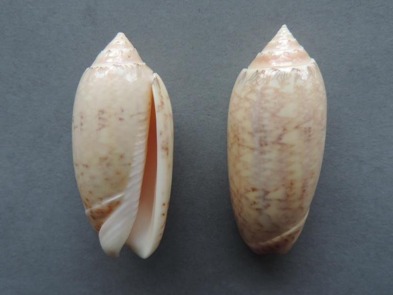 Americoliva bollingi maya (Petuch & Sargent, 1986) Dscn2211
