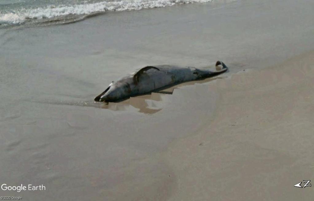 Un Dauphin mort sur une plage au Brésil. Z121