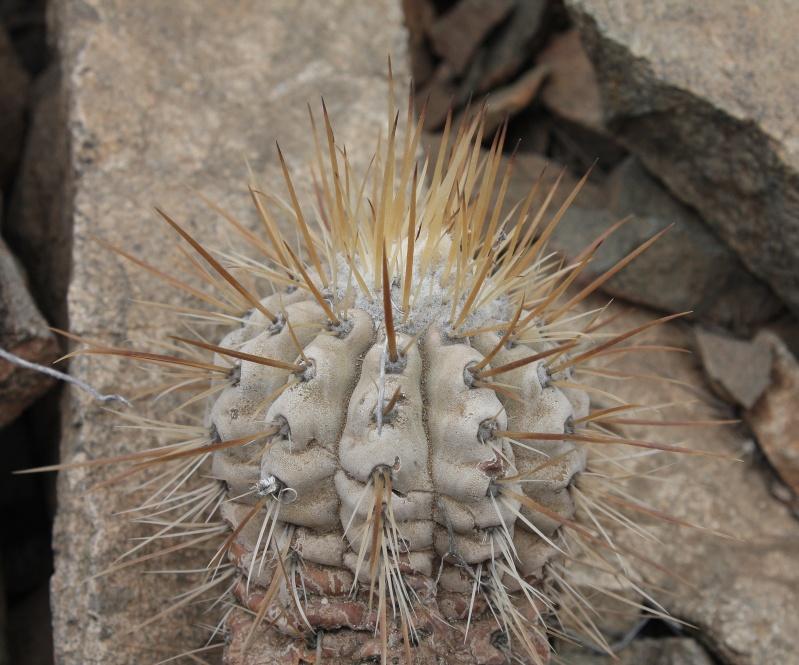 Copiapoa cinerea var. albispina Img_1312