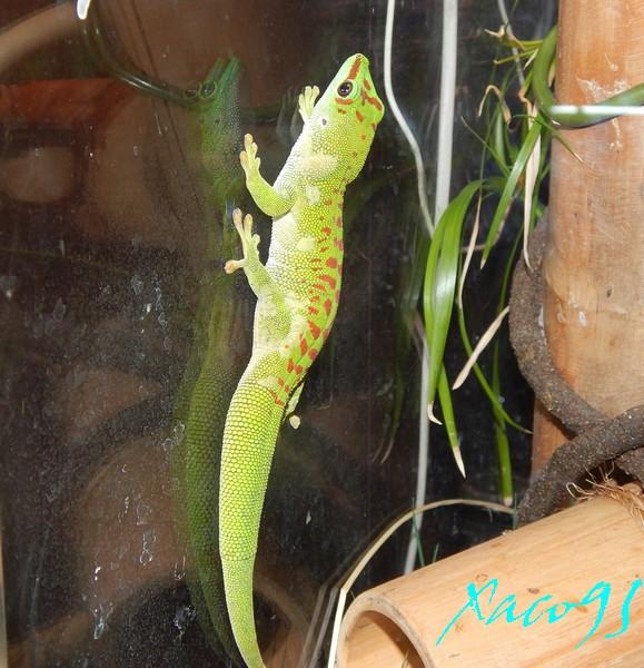 Musa sp.... en terrarium/cage/volière pour phelsuma  Dscn2913