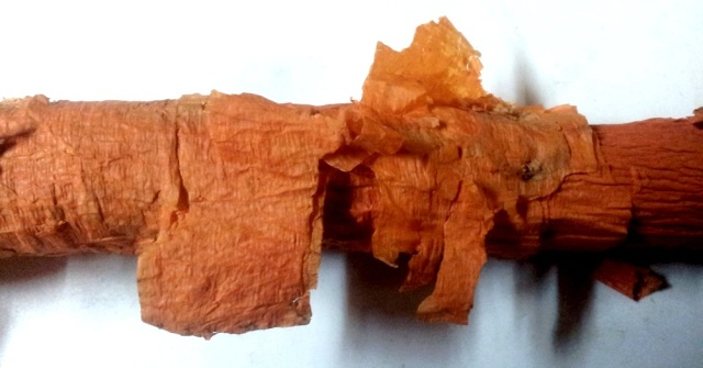 Maclura pomifera - oranger des Osages - Page 3 Maclur10