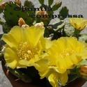 Opuntia humifusa (= Opuntia compressa) Compre10