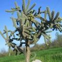Opuntia humifusa (= Opuntia compressa) Spinos10