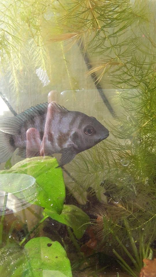 Mes aquariums d'Amérique 11007610