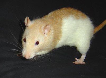 cherche ratte Topaze Bicolore  Bicoto10