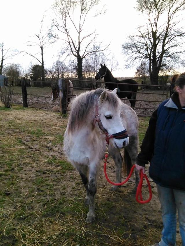 Dpt 50 - KALIF  Poney ONC 13 ans - contact Delphine - adopté par Rodolphe Janvier 2015 14245310