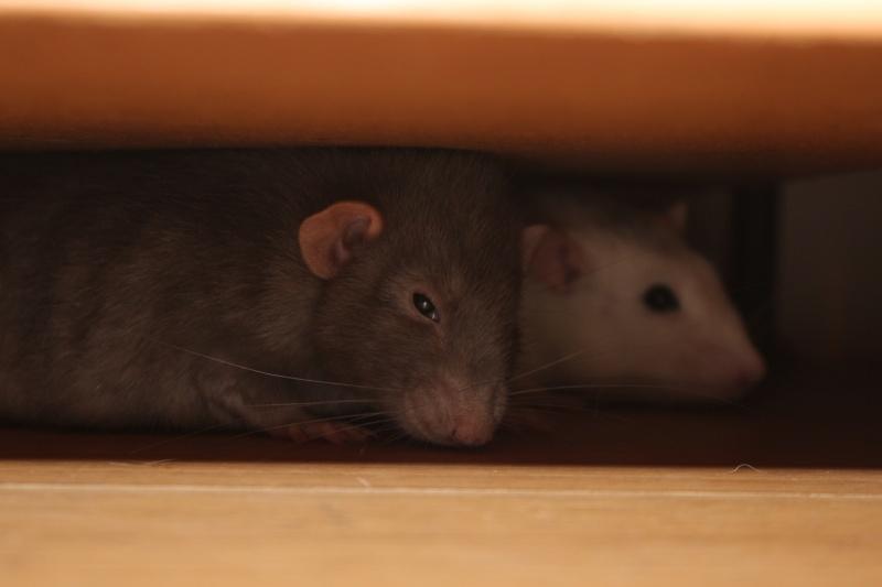 Les RatsCapables de Titia ! - Page 10 Img_7812