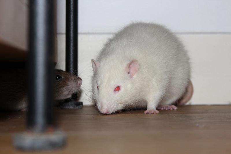 Les RatsCapables de Titia ! - Page 10 Img_7910