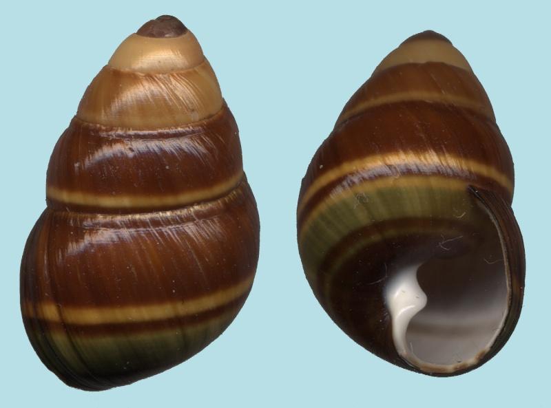 Propositions & avancées dans le forum des mollusques continentaux. - Page 10 Achati10