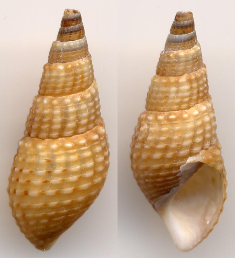 Tarebia granifera - (Lamarck, 1816)  Newcom11