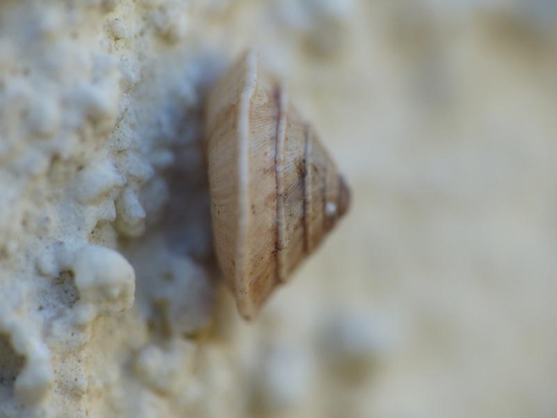 Trochoidea elegans (Gmelin, 1791) P1010018
