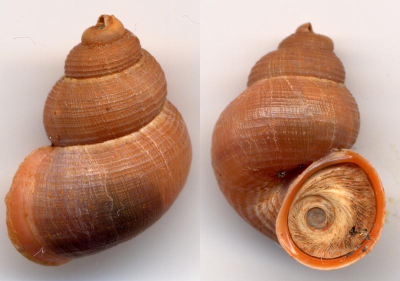 Tudorella sulcata (Draparnaud,1801) Sulcat10