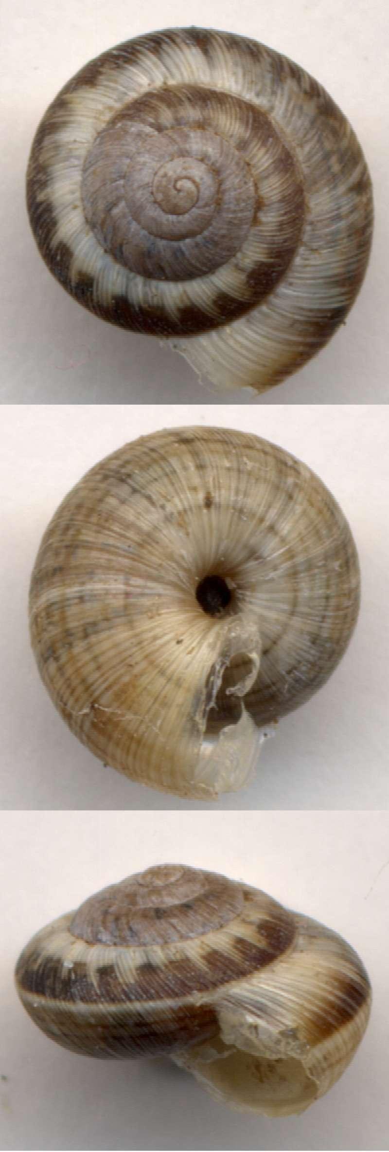 Xerotricha conspurcata (Draparnaud, 1801) Villen10