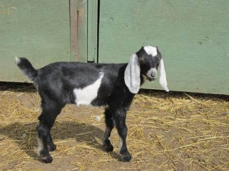 Nubian goats for sale- sorry sold a few months ago Iris_j11