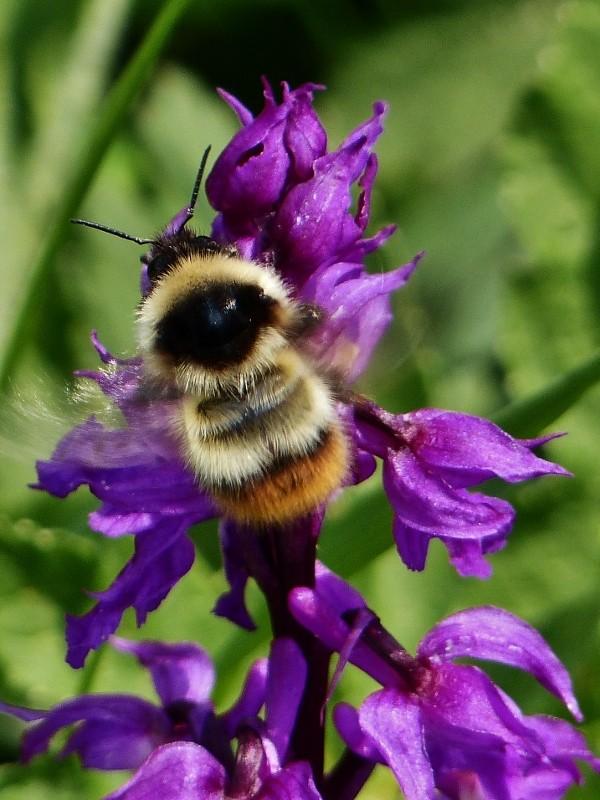 Bourdon pollinisateurs P1010710