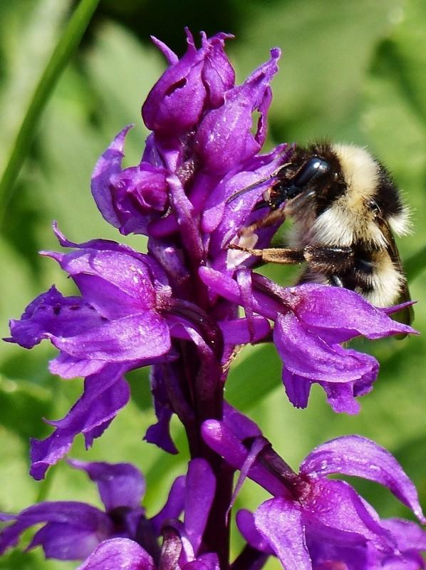 Bourdon pollinisateurs P1010711