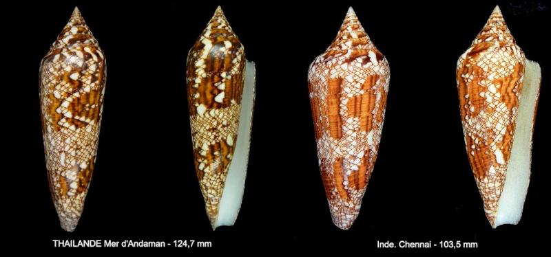 Conus (Cylinder) bengalensis   Okutani, 1968 - Page 2 Sans-t14