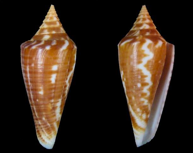 Conus (Dauciconus) scalaris Sans-t17