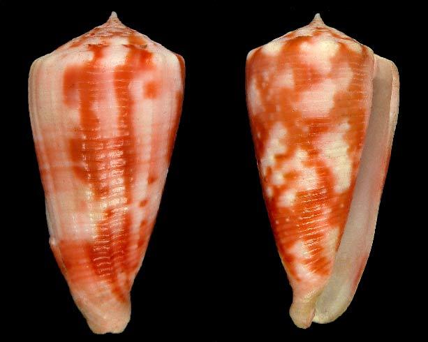 Conus (Phasmoconus) niederhoeferi  (Monnier, Limpalaër & Lorenz, 2012) Sans-t20