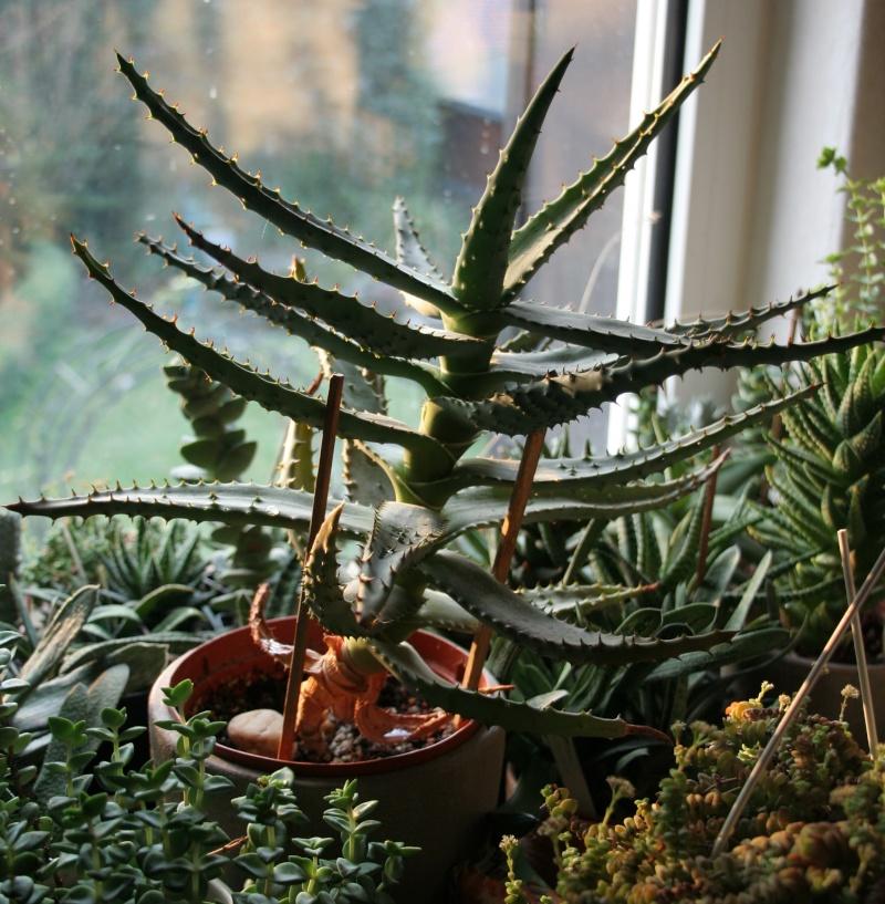 Aloe ferox Img_6415