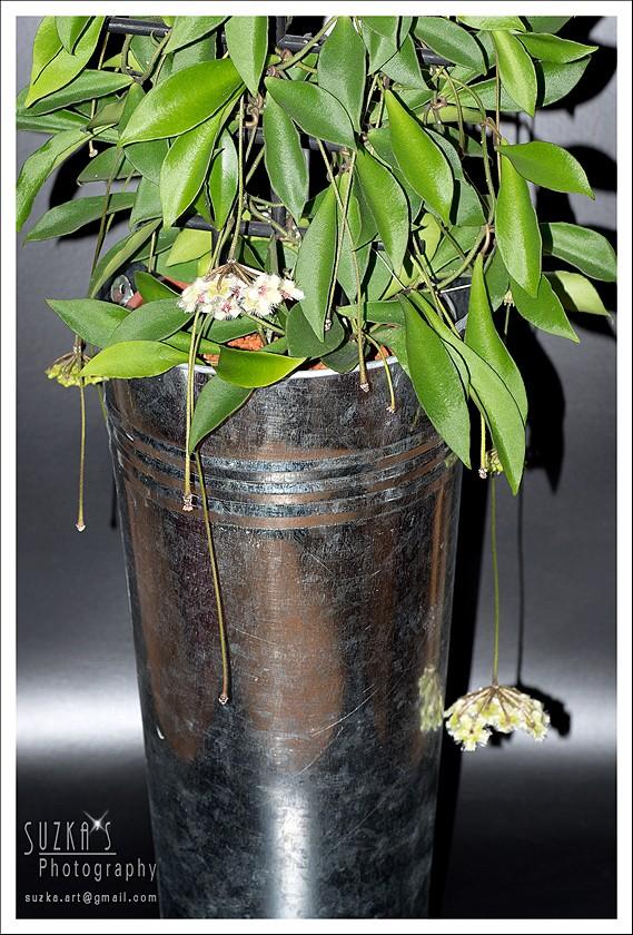 Hoya soidaoensis Pk3a6016