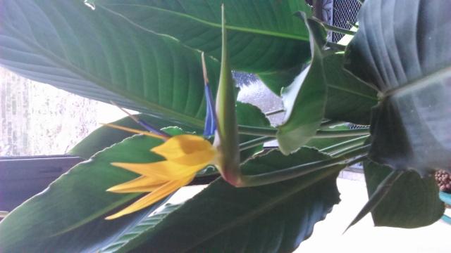 nouvelles de mon oiseau de paradis  - Page 2 Dsc_0017