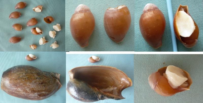 Cymbium pachyus - (Pallary 1930) 00110