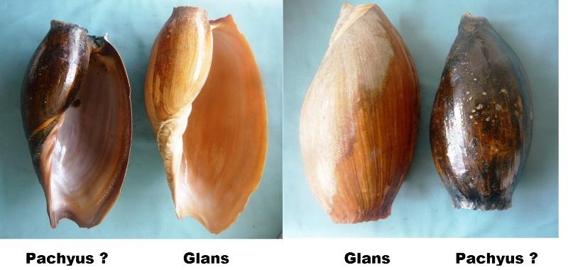 Cymbium glans et pachyus 00117