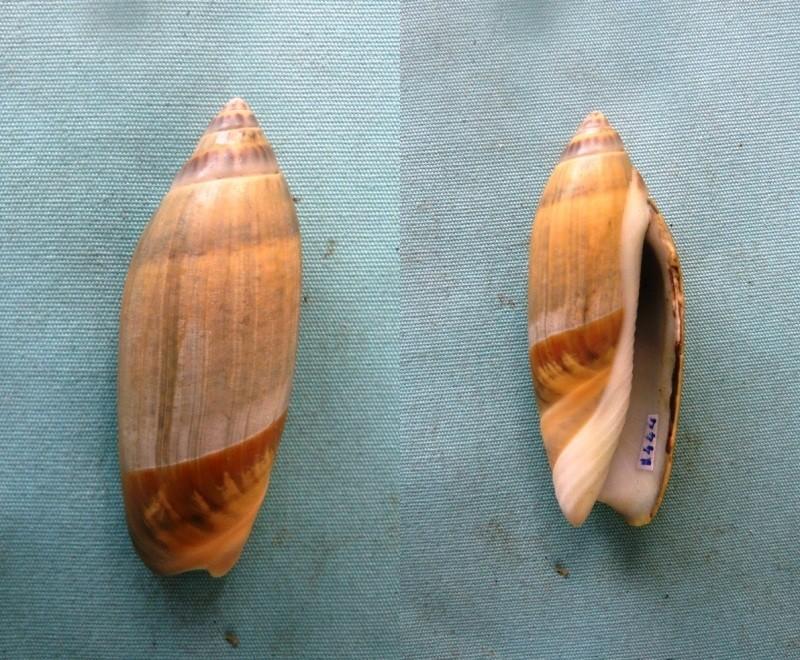 Agaronia acuminata acuminata (Lamarck 1811) 00122