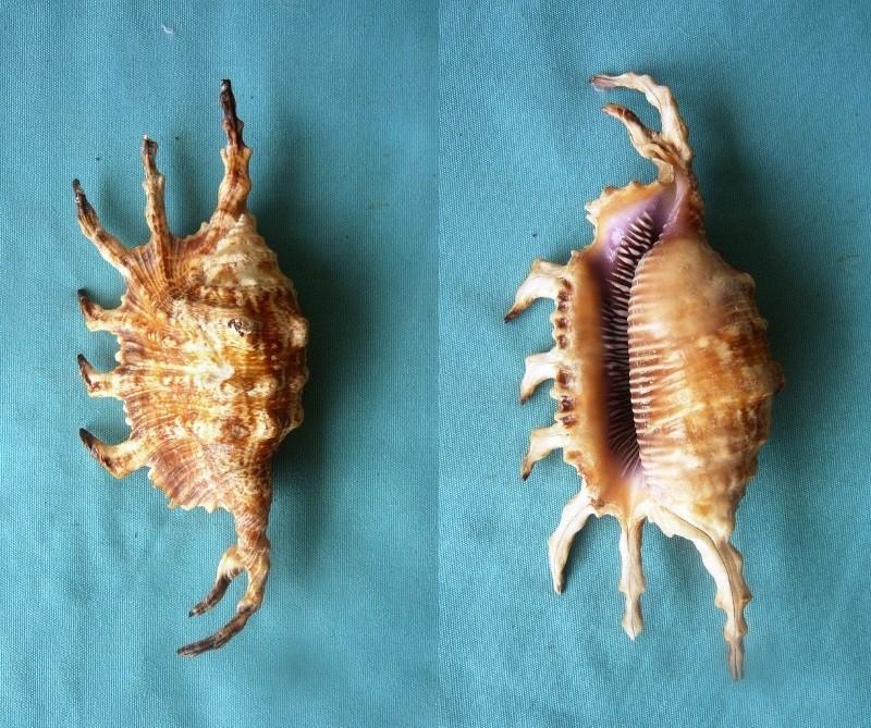 Lambis scorpius indomaris - Abbott, 1961 00125