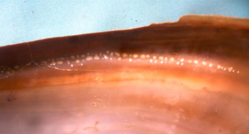 Cymbium glans et pachyus 00313