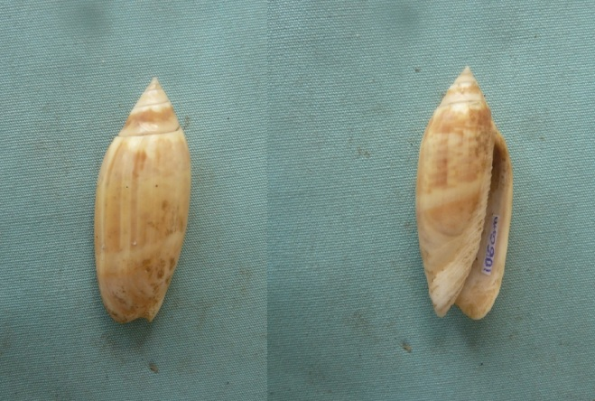 Agaronia acuminata acuminata (Lamarck 1811) 00314