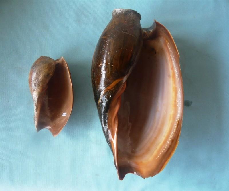 Cymbium glans et pachyus 00514