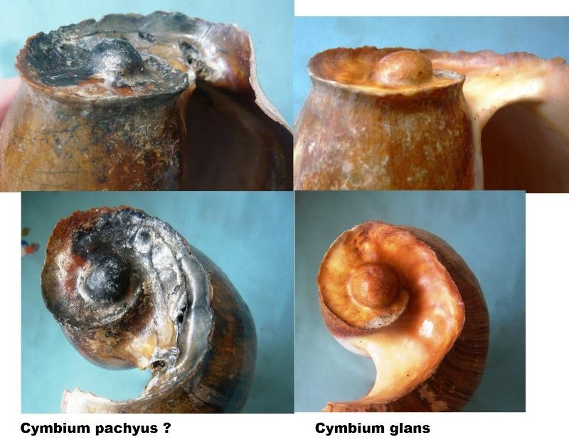 Cymbium glans et pachyus 00610