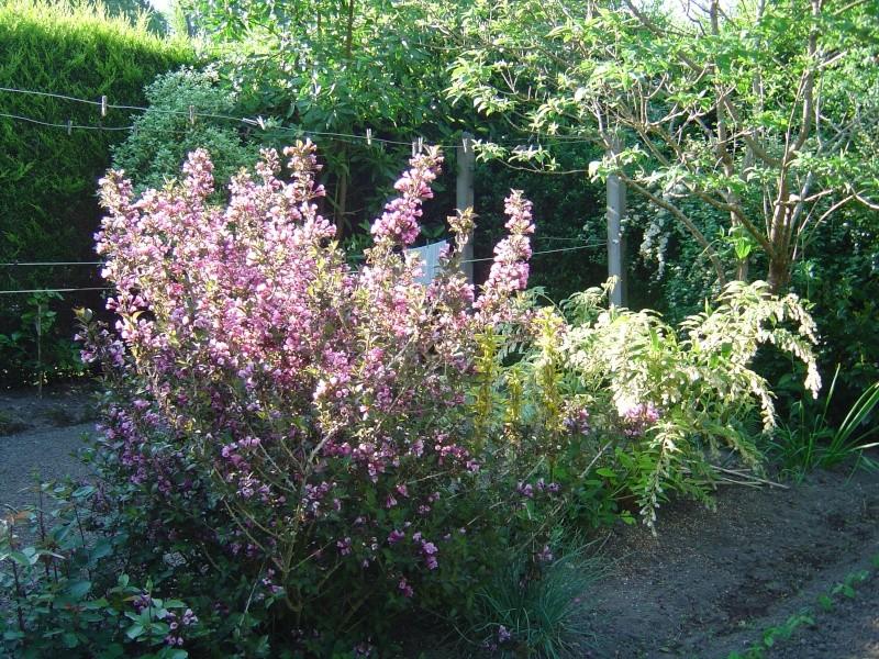les  végélias de mon jardin  Dsc00314