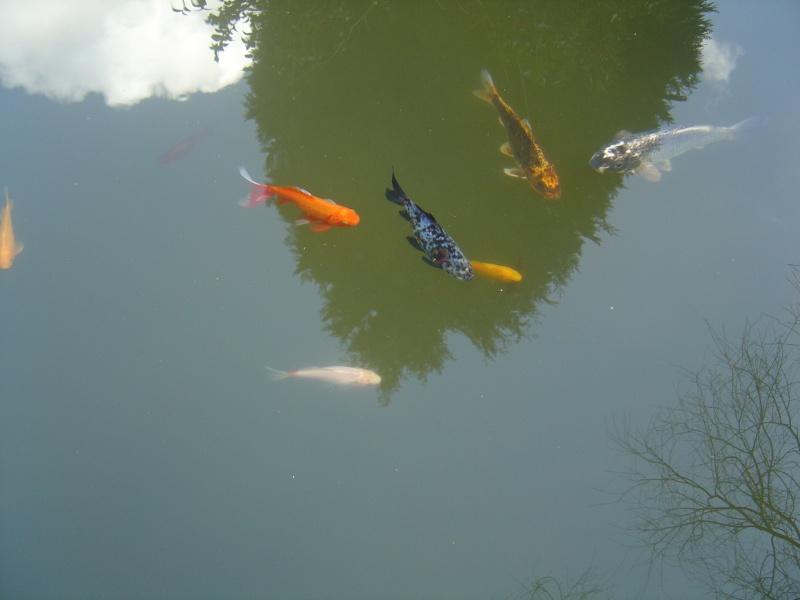 bassins fleuris  et poissons  Dsc01110