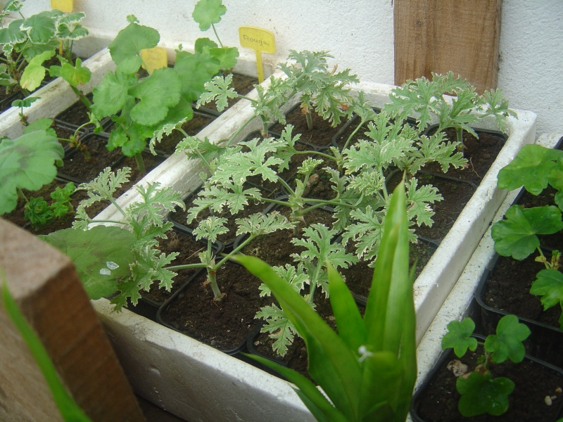 bouture de plants ..................... Dsc01213