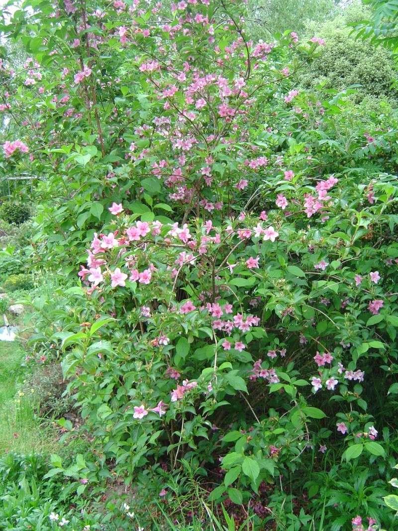 les  végélias de mon jardin  Dsc07110