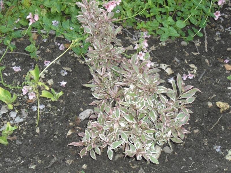 les  végélias de mon jardin  Le_02_10