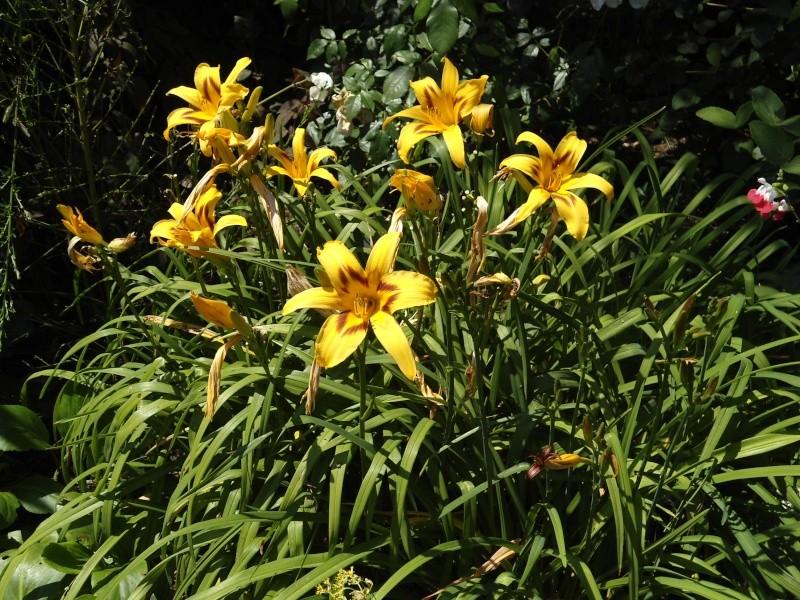 les hémérocalles du jardin en fleurs  Le_08_17